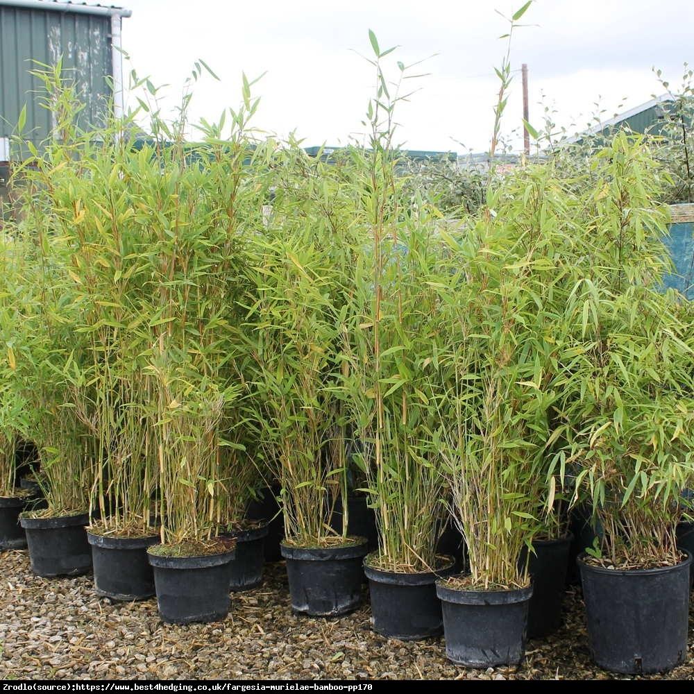 Bambus - Fargesia murielae