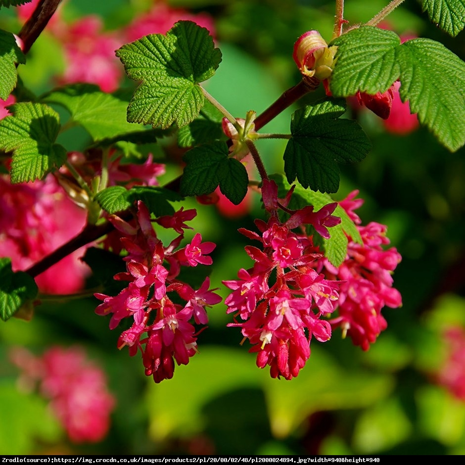 Porzeczka krwista King Edward VII  - Ribes sanguineum King Edward VII