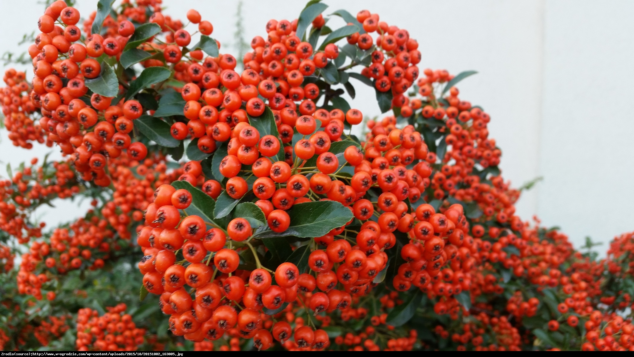 Ognik szkarłatny Red Column  - Pyracantha coccinea  Red Column