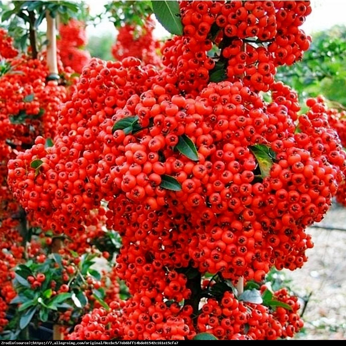 Ognik szkarłatny Red Column  - Pyracantha coccinea  Red Column