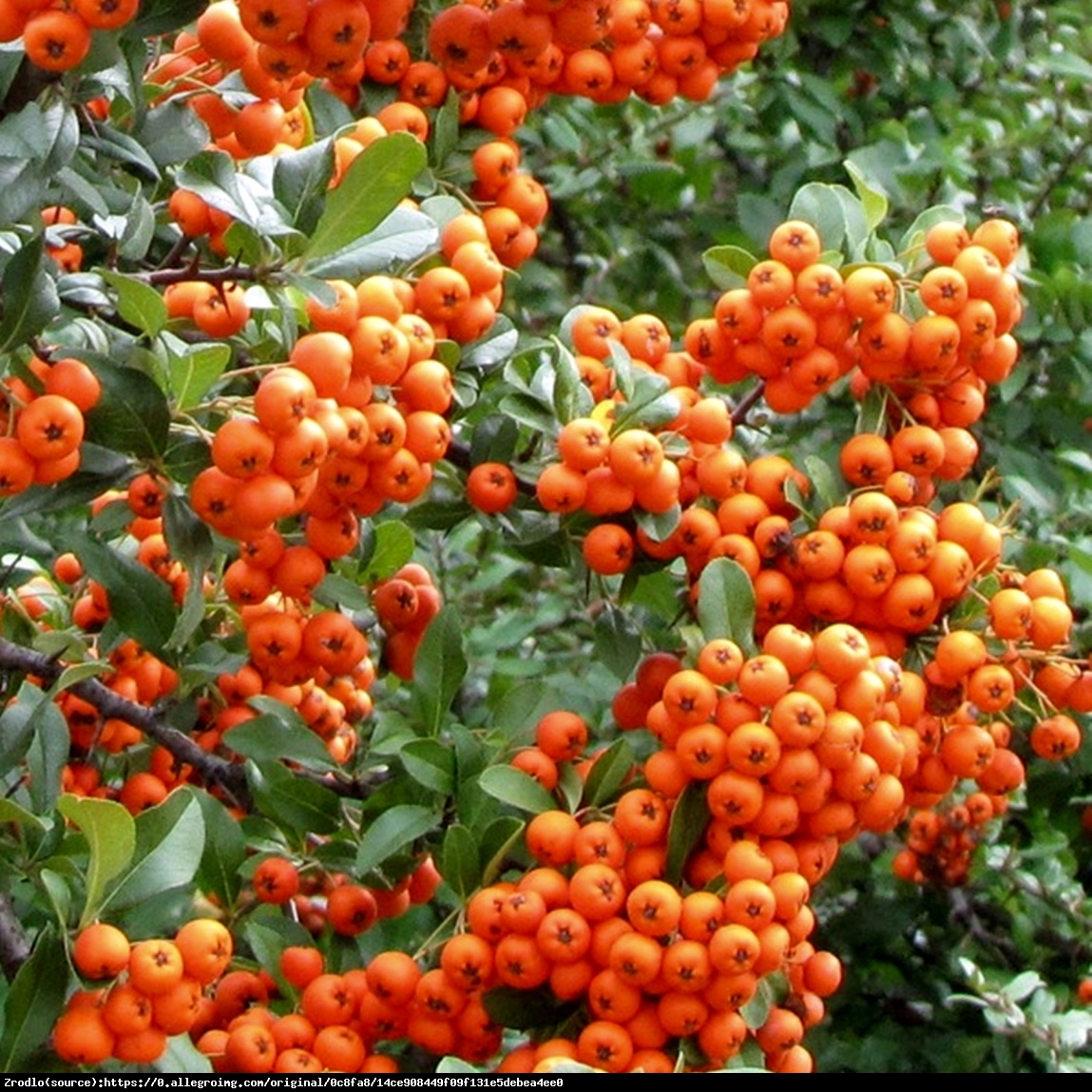 Ognik szkarłatny Orange Glow  - Pyracantha coccinea Orange Glow