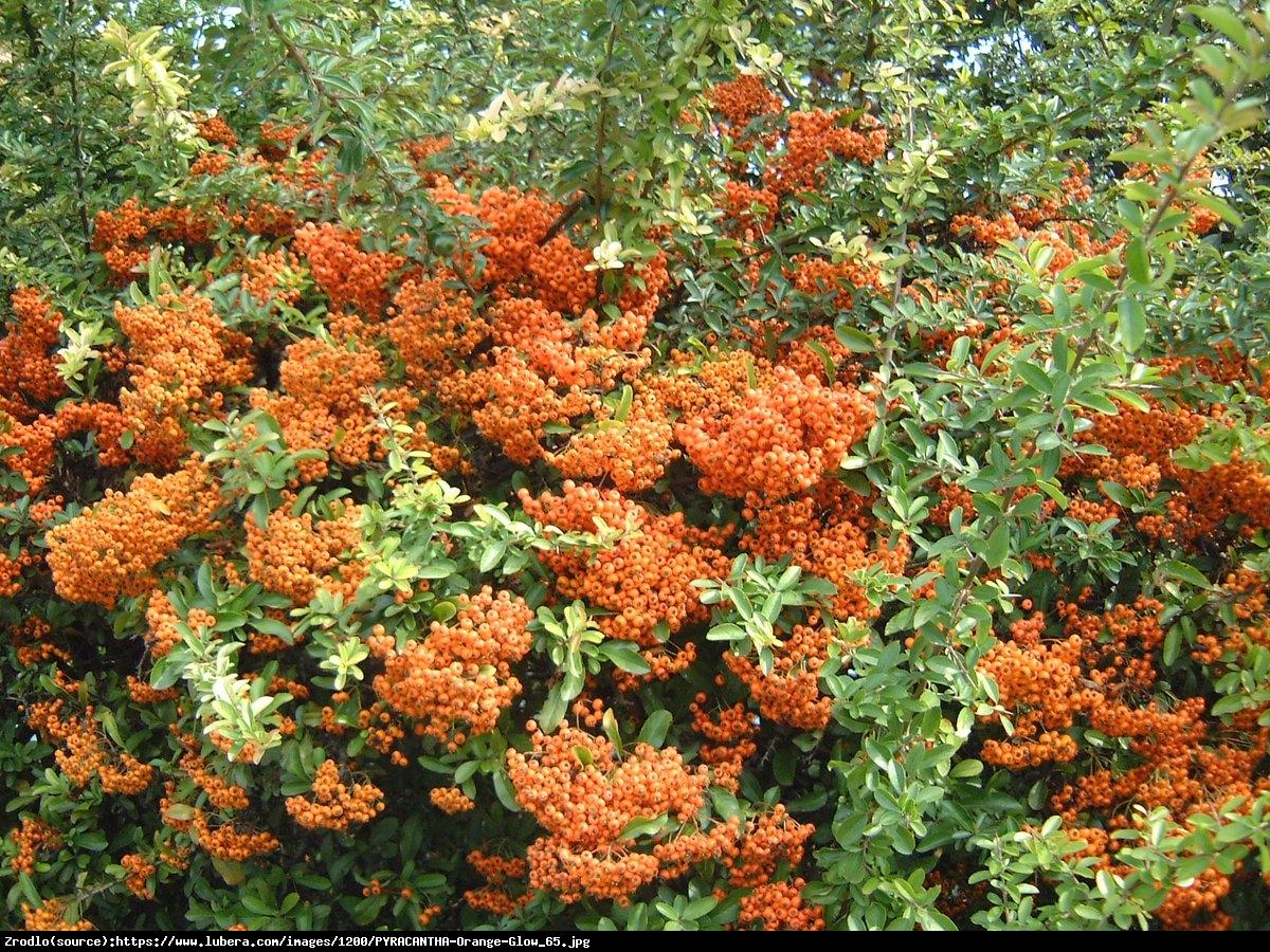 Ognik szkarłatny Orange Glow  - Pyracantha coccinea Orange Glow