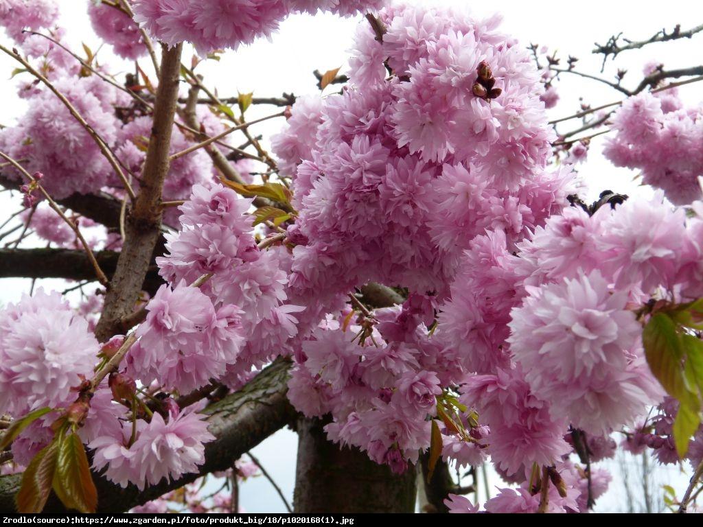 Wiśnia piłkowana Kiku-shidare-zakura - Prunus serrulata Kiku-shidare-zakura