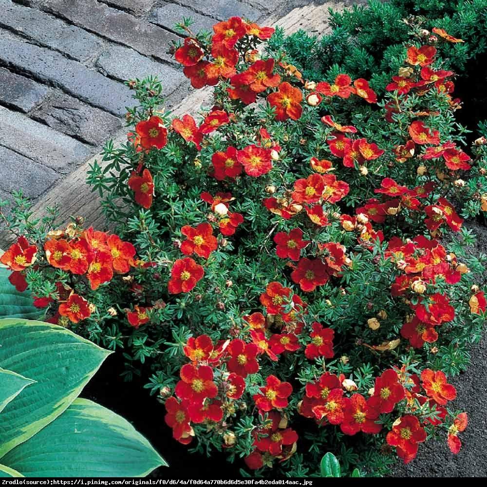 Pięciornik Red Ace -  Potentilla fruticosa Red Ace