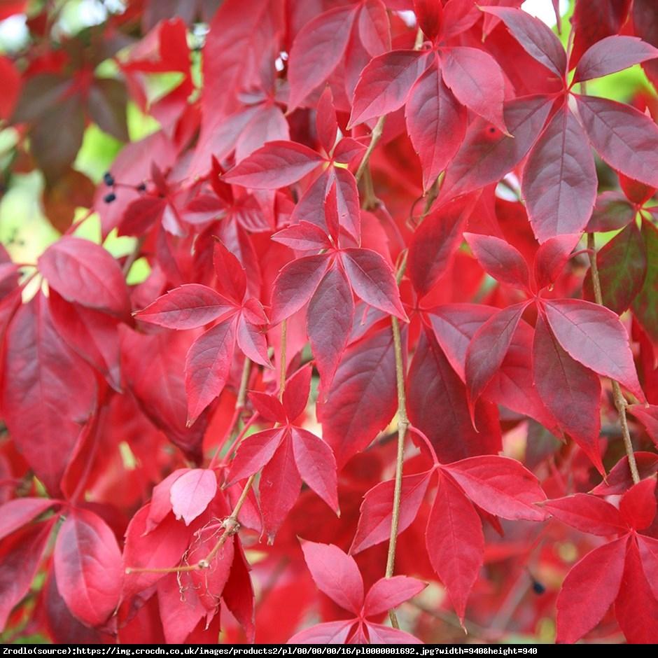 Winobluszcz pieciolistkowy - Parthenocissus quinquefolia