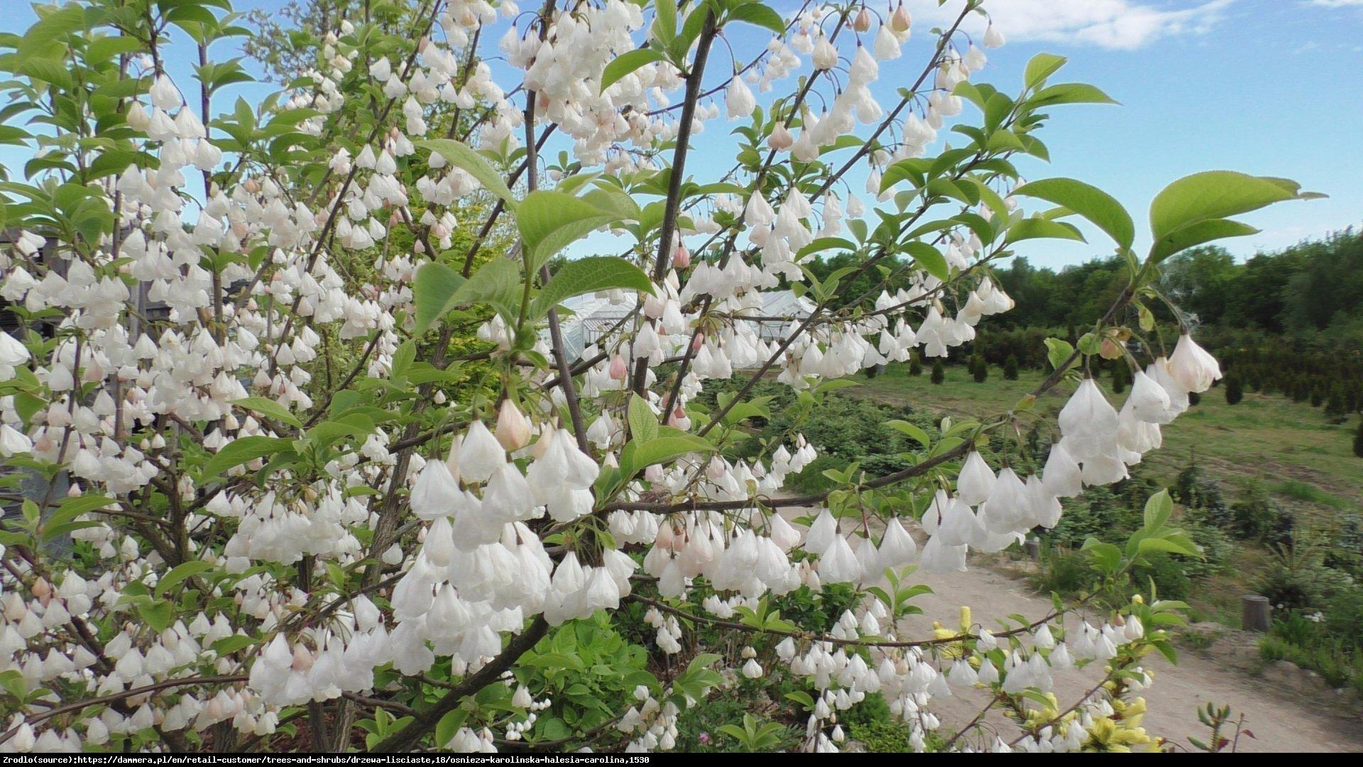 Ośnieża czteroskrzydła  - Halesia carolina