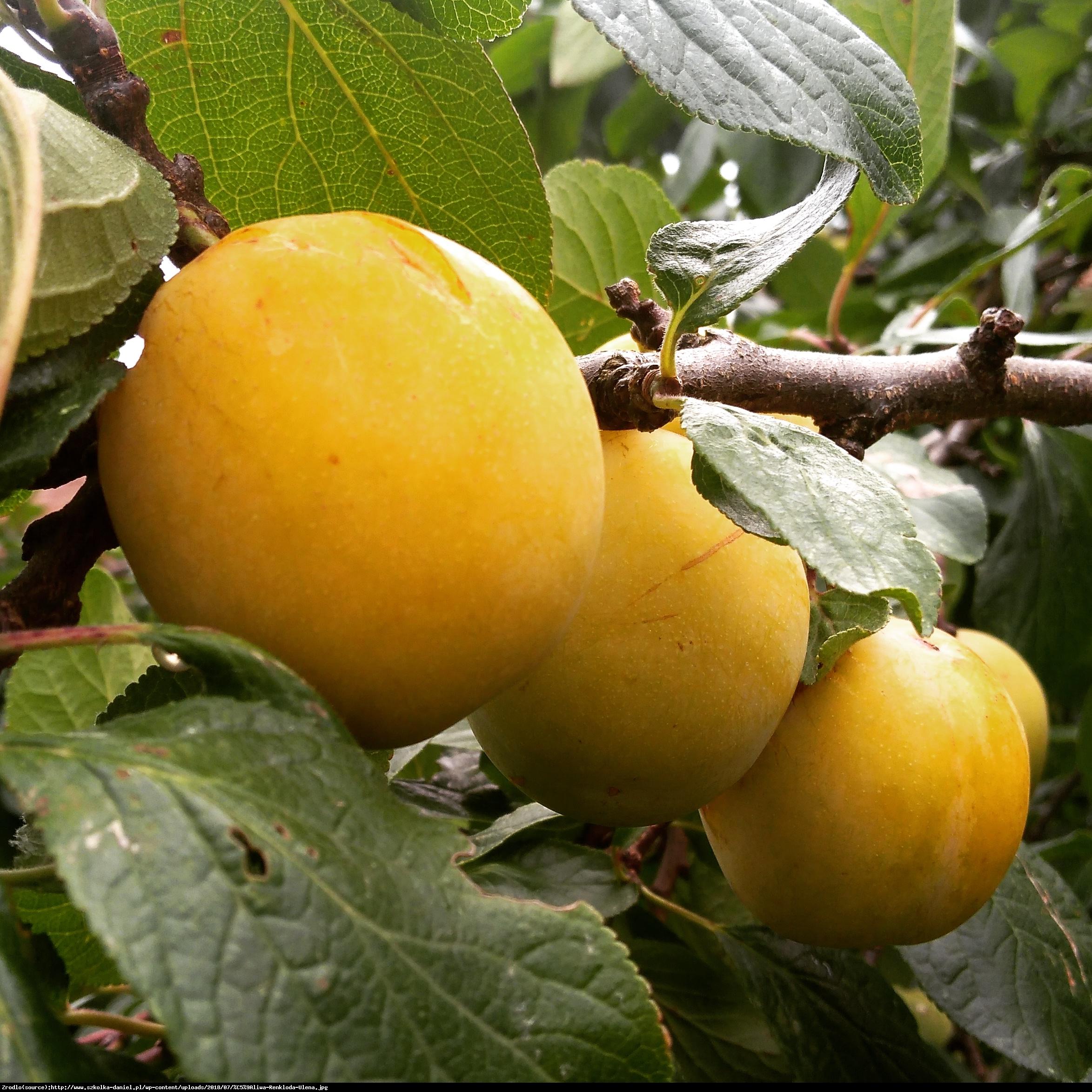 Śliwa Renkloda Ulena - Prunus