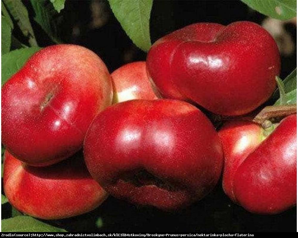 Nektaryna płaska Flateryna - WYBITNIE SŁODKA i AROMATYCZNA - Prunus persica Flateryna