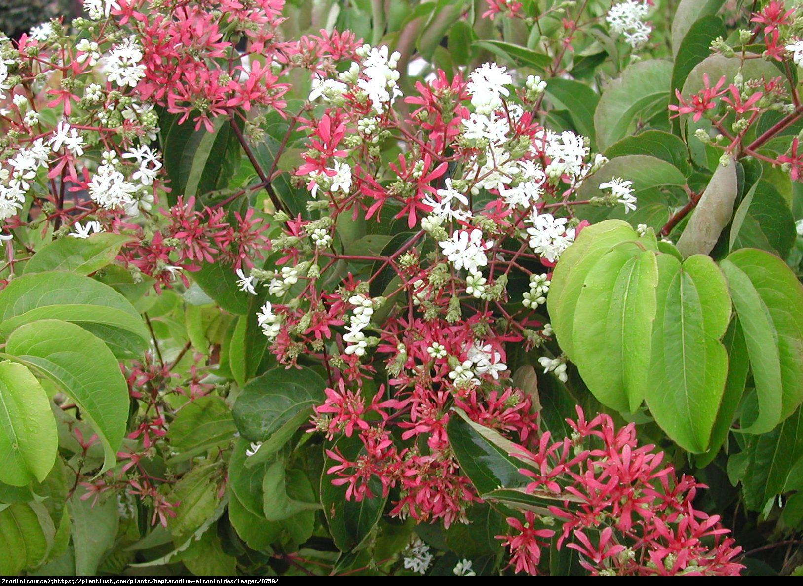 Heptakodium chińskie - Heptacodium miconioides