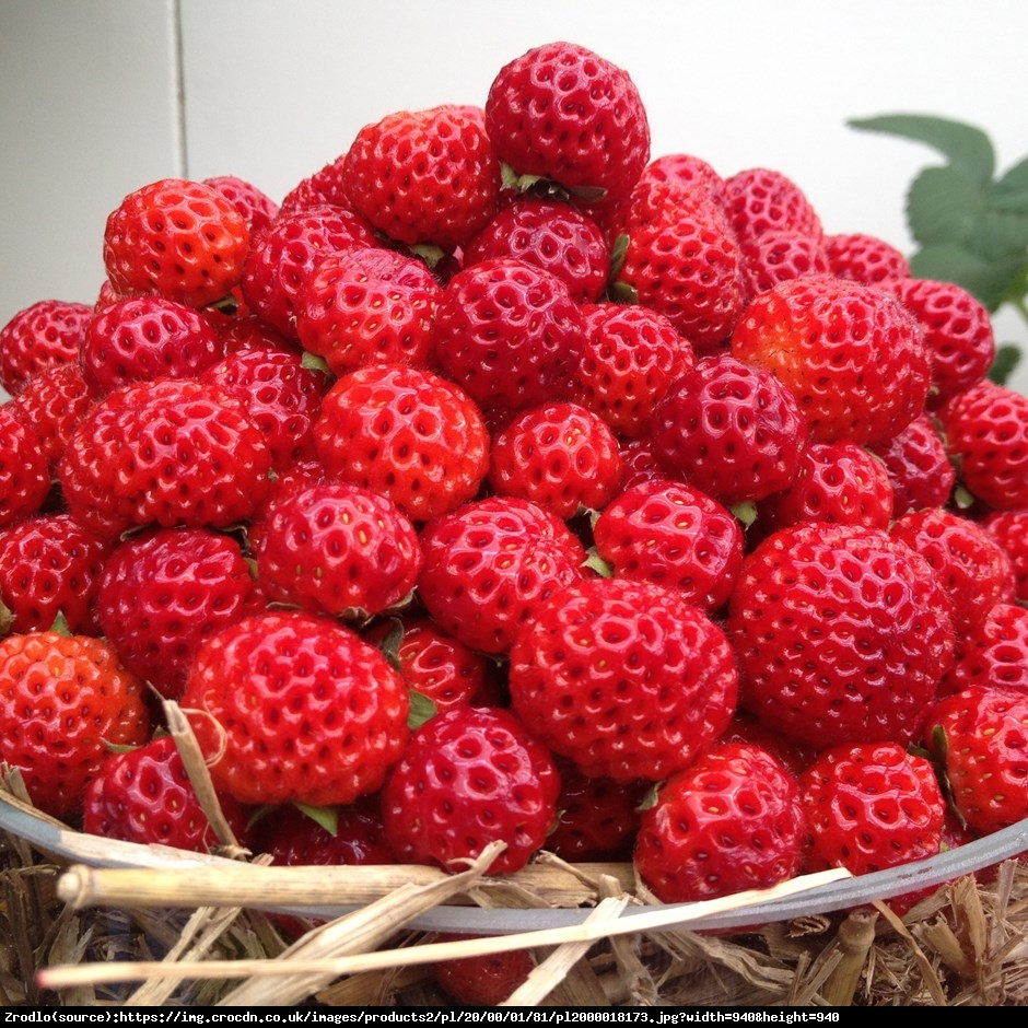Truskawka malinowo-poziomkowa Red Dream - Fragaria Red Dream