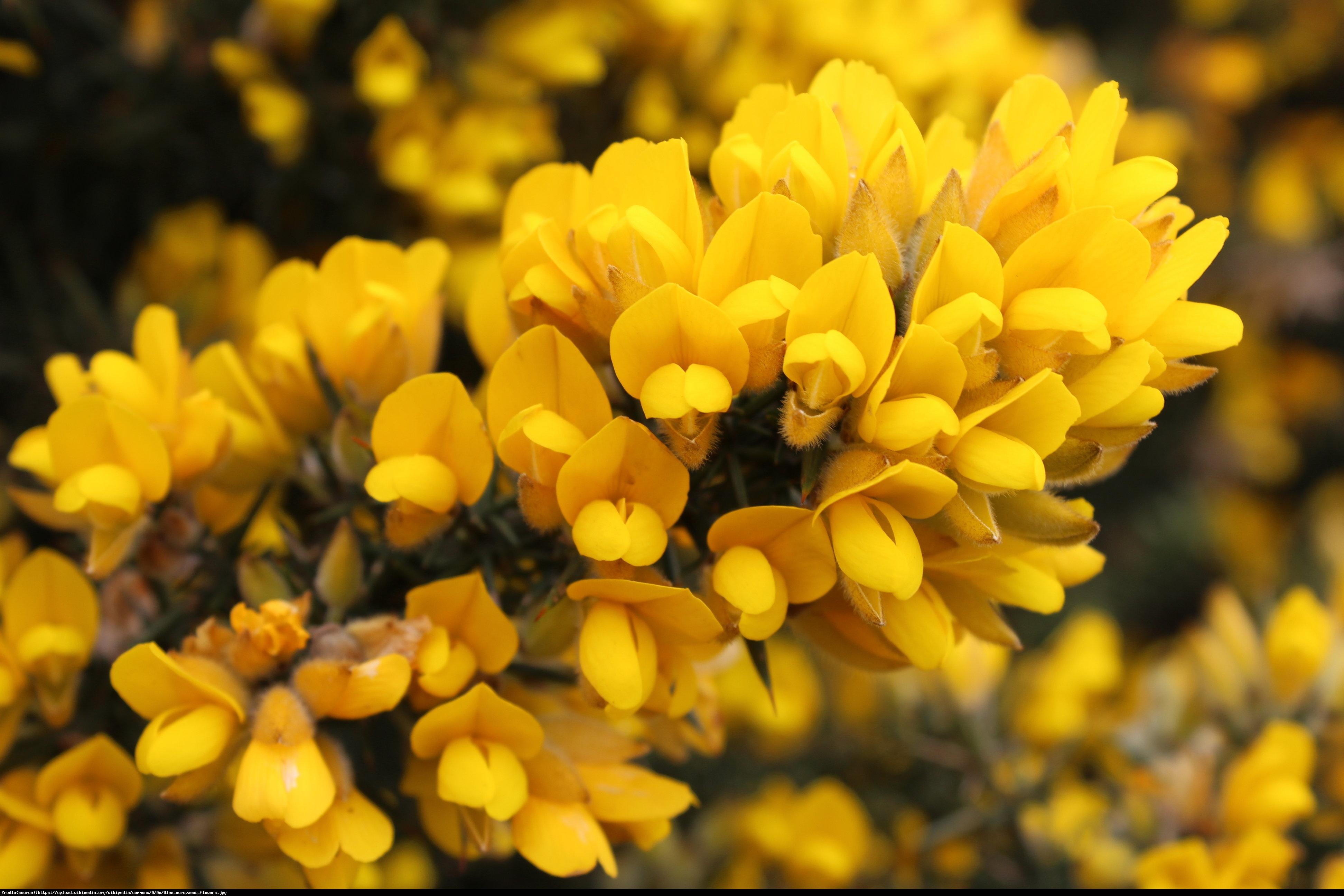 Kolcolist zachodni - Ulex europaeus