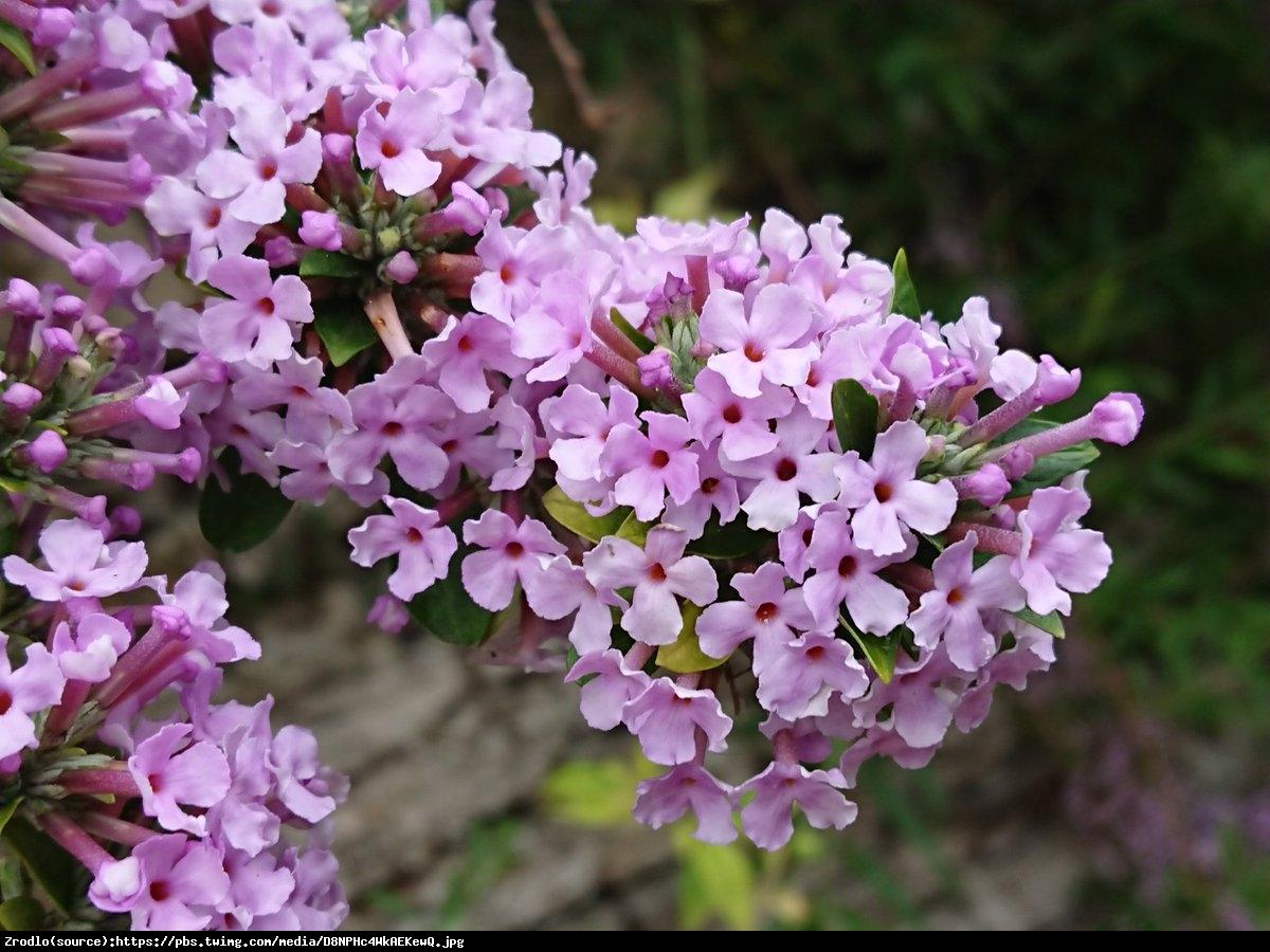 Budleja skrętolistna - Buddleja alternifolia