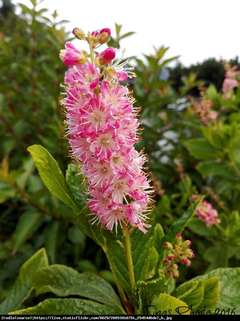 Orszelina zwyczajna Pink Spire - Clethra alnifolia Pink Spire