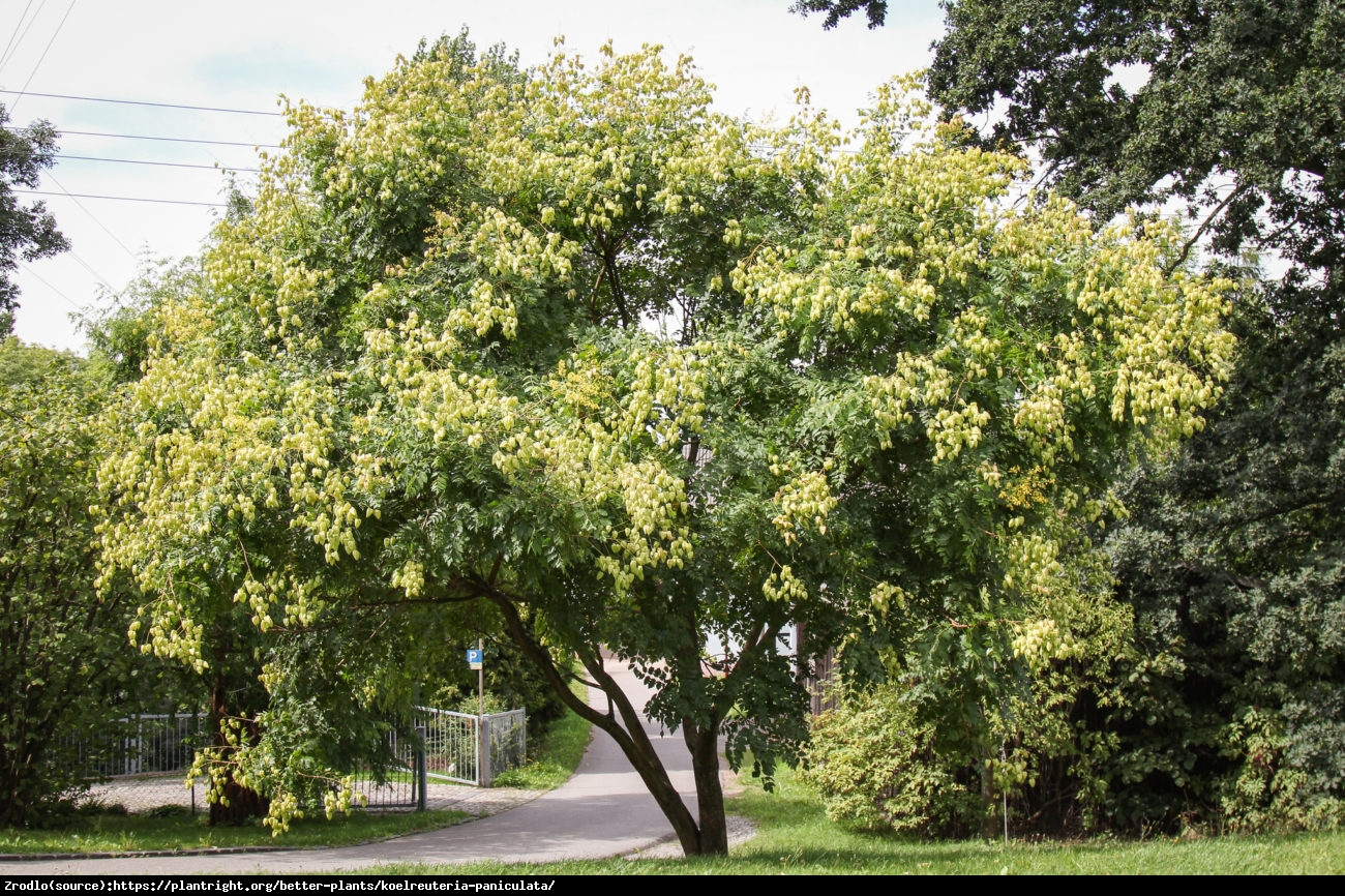 Mydleniec wiechowaty  - Koelreuteria paniculata