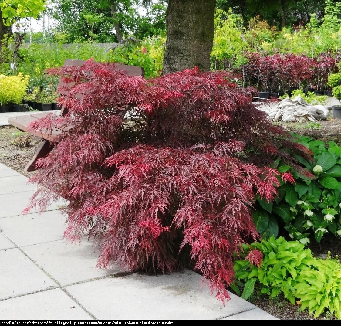 Klon palmowy Garnet - Acer palmatum Garnet