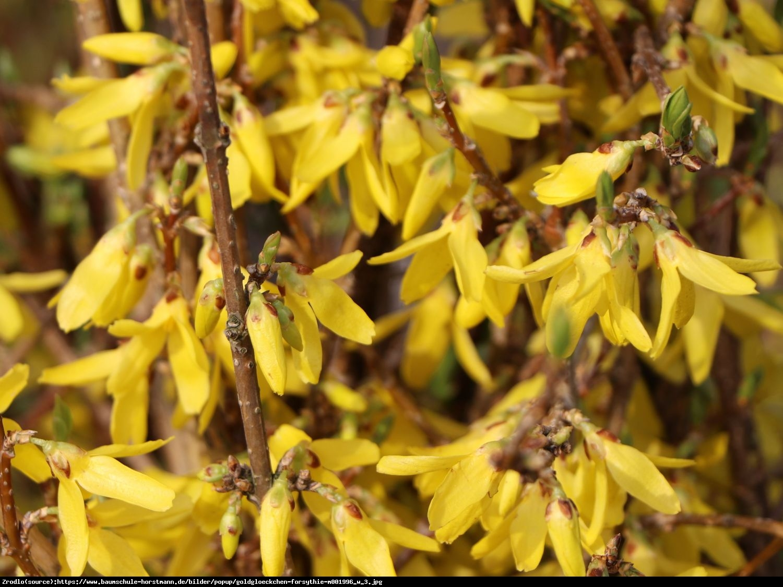 Forsycja pośrednia Lynwood  - Forsythia intermedia  Lynwood