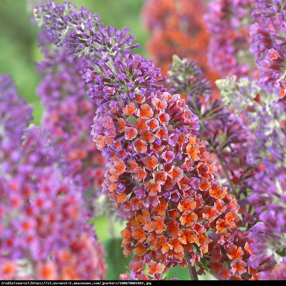 Budleja  Flower Power  - Buddleia  Flower Power