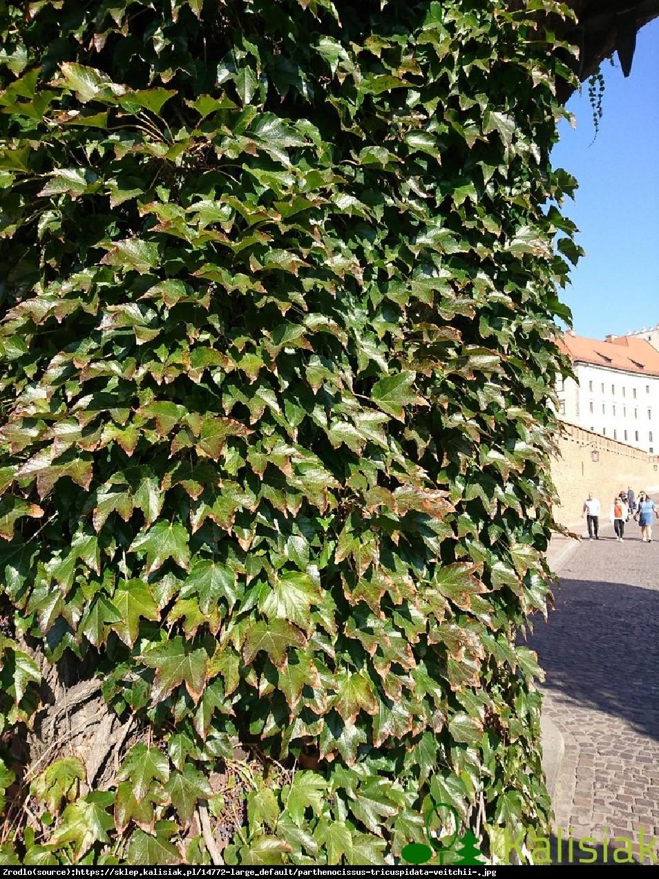 Winobluszcz trójklapowy Veitchii  - Parthenocissus tricuspidata Veitchii