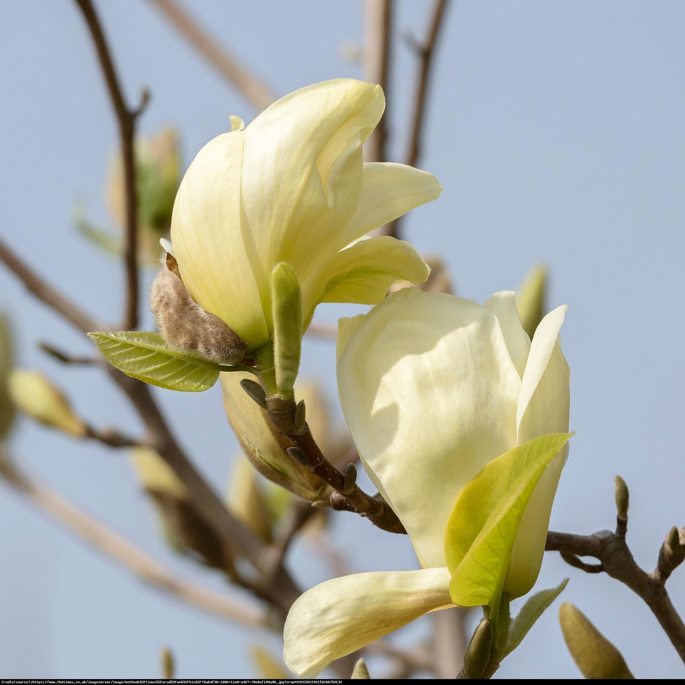 Magnolia Żółta Yellow River  - Magnolia denudata Yellow River