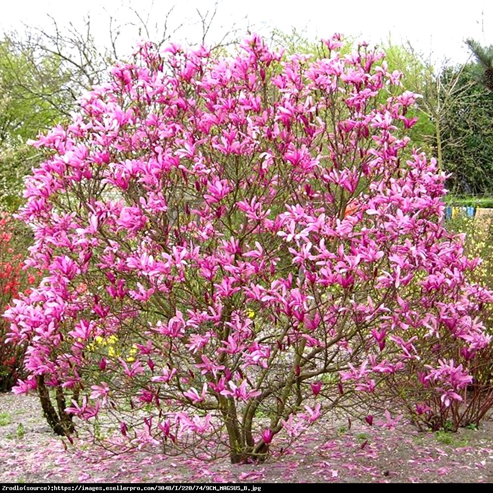 Magnolia Susan - Magnolia Susan