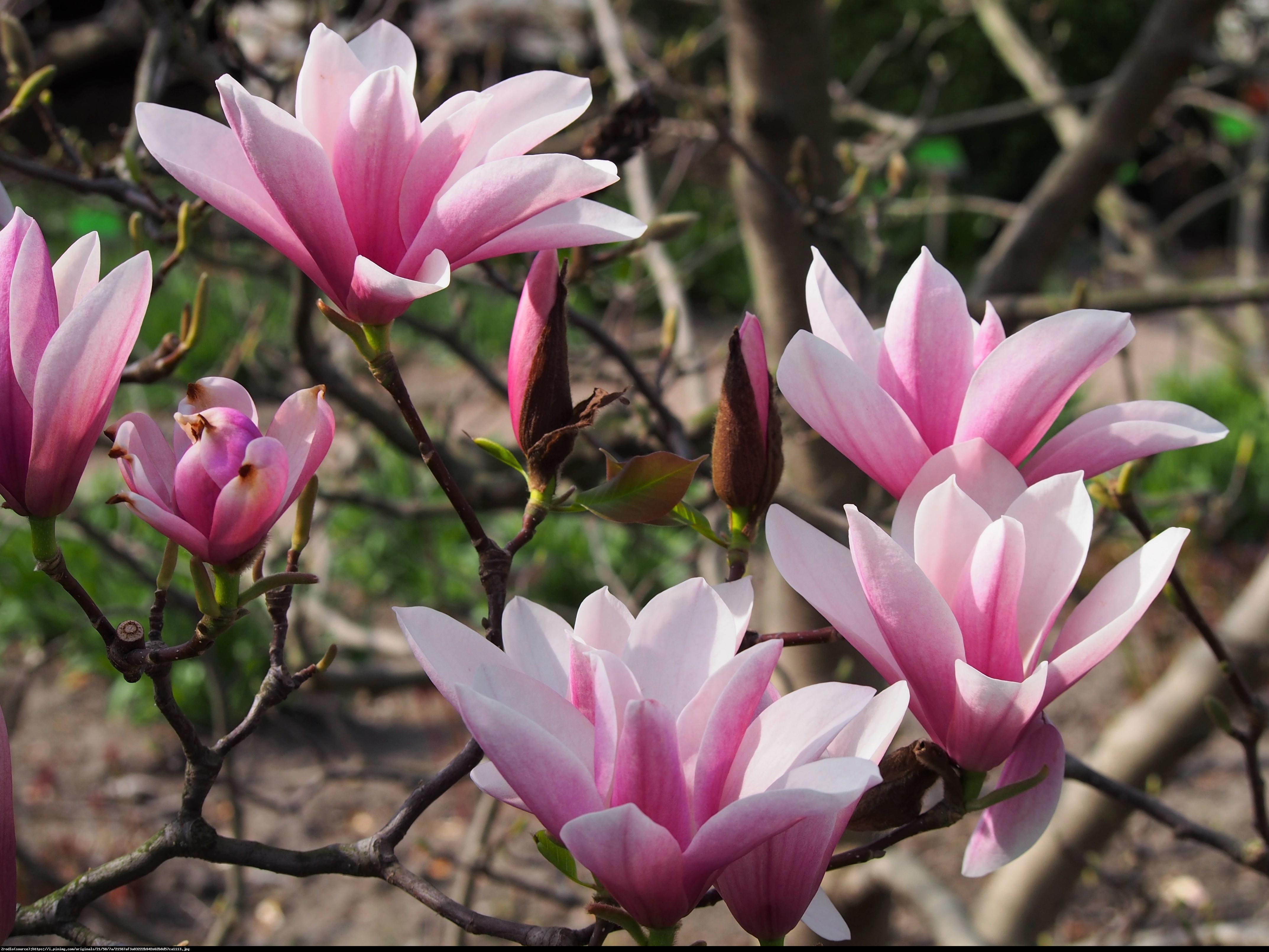 Magnolia Heaven Scent - Magnolia Heaven Scent