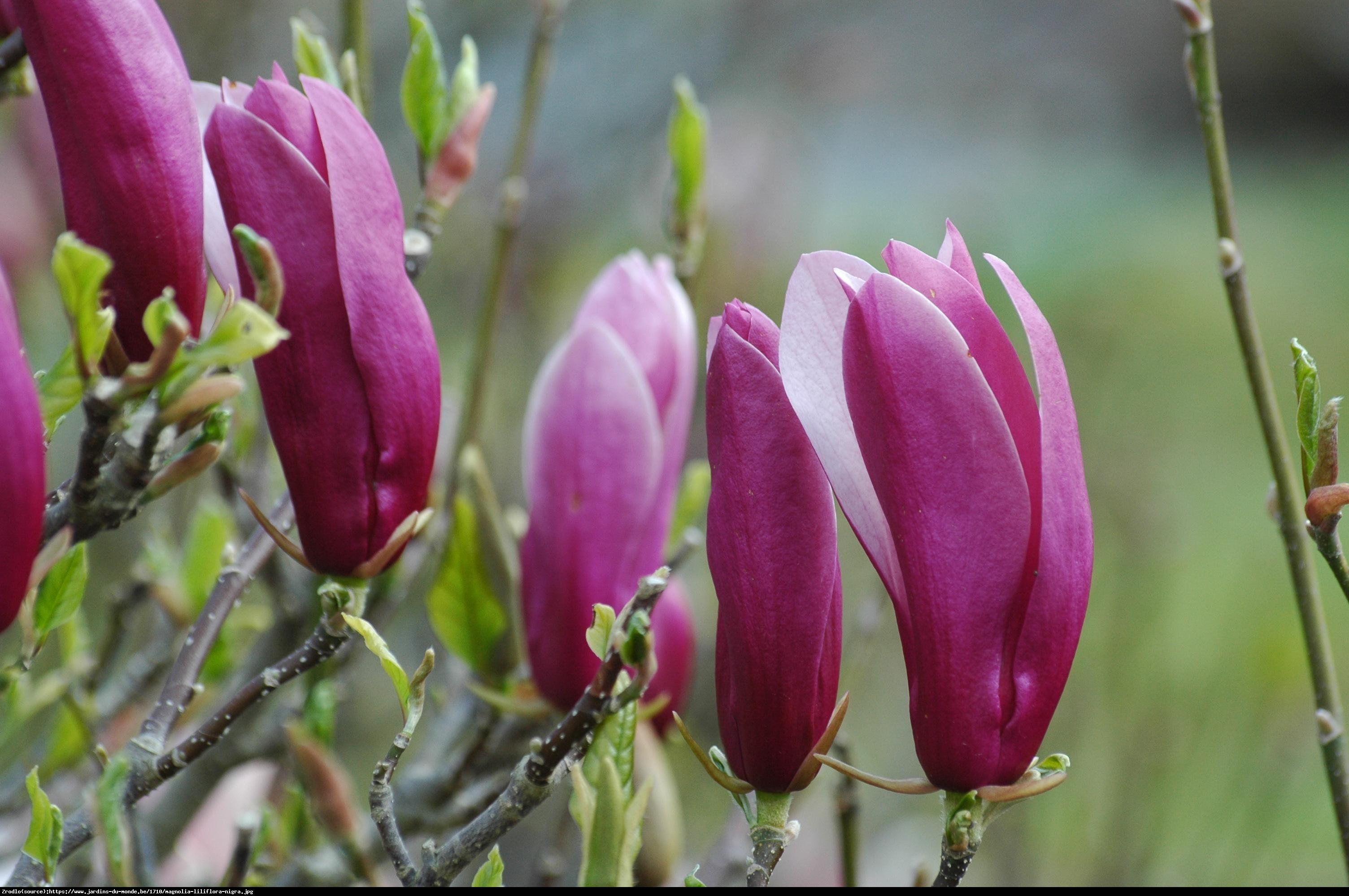 Magnolia Nigra - Magnolia liliflora Nigra