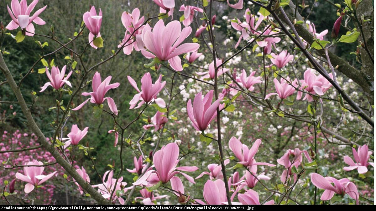 Magnolia Ricki - Magnolia Ricki