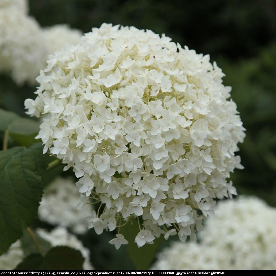 Hortensja drzewiasta Anabelle  - Hydrangea arborescens Anabelle