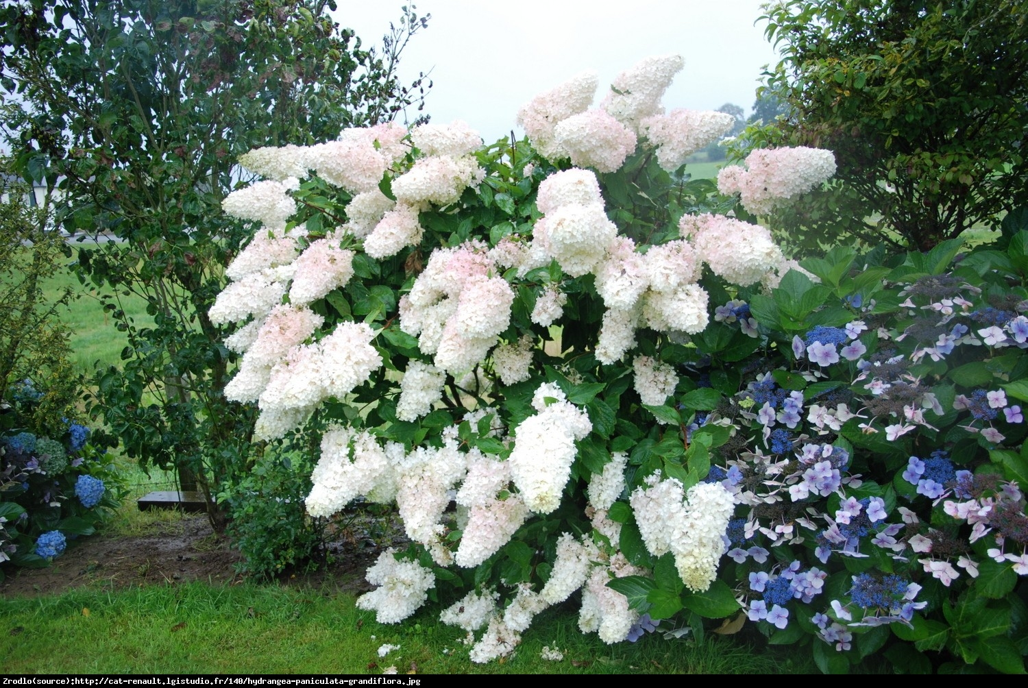 hortensja bukietowa grandiflora hydrangea paniculata. Black Bedroom Furniture Sets. Home Design Ideas