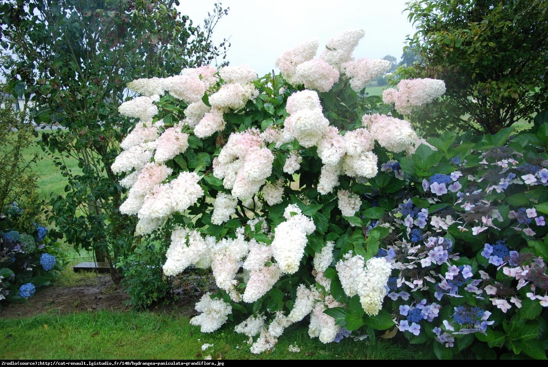 Hortensja bukietowa Grandiflora - Hydrangea paniculata  Grandiflora