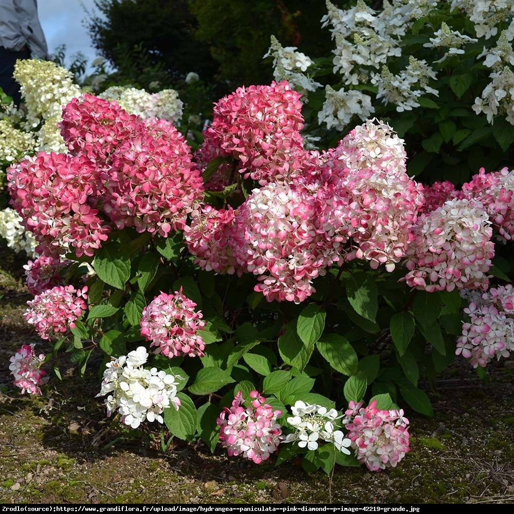 Hortensja bukietowa Pink Diamond - Hydrangea paniculata  Pink Diamond