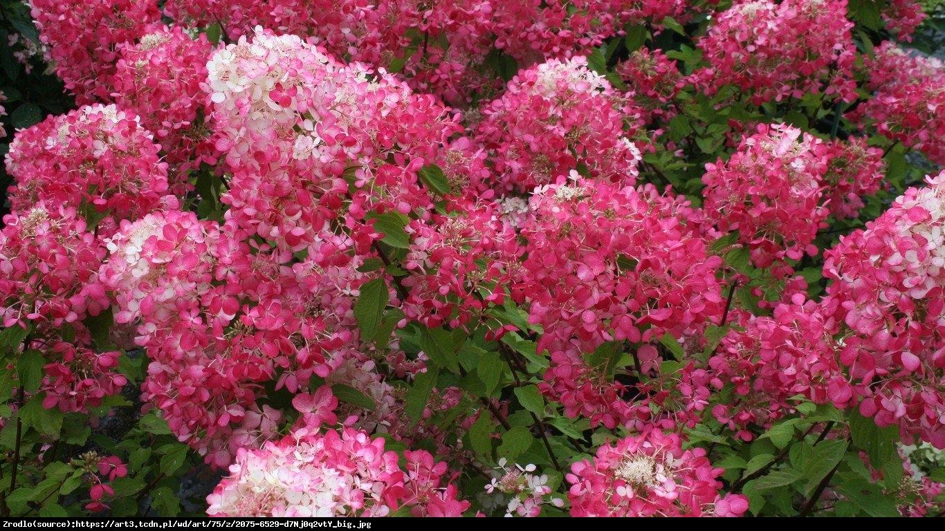 Hortensja bukietowa Pink Lady  - Hydrangea paniculata  Pink Lady