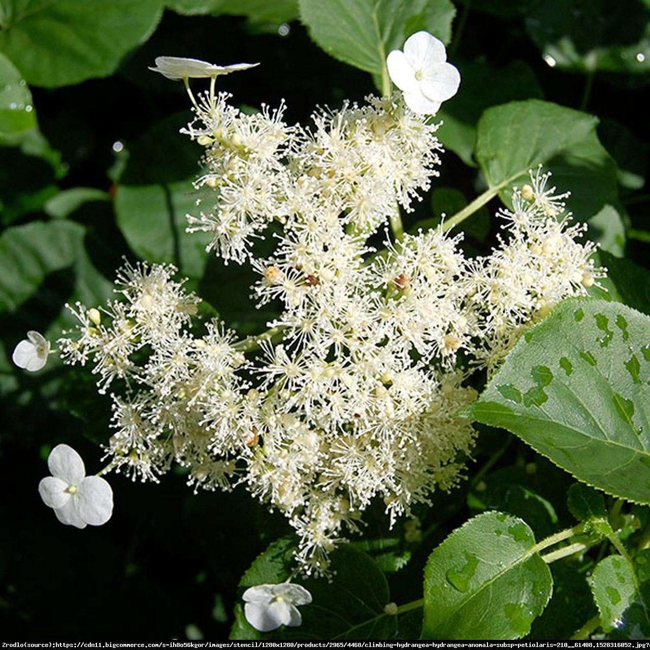 Hortensja pnąca - Hydrangea anomala subsp. petiolaris