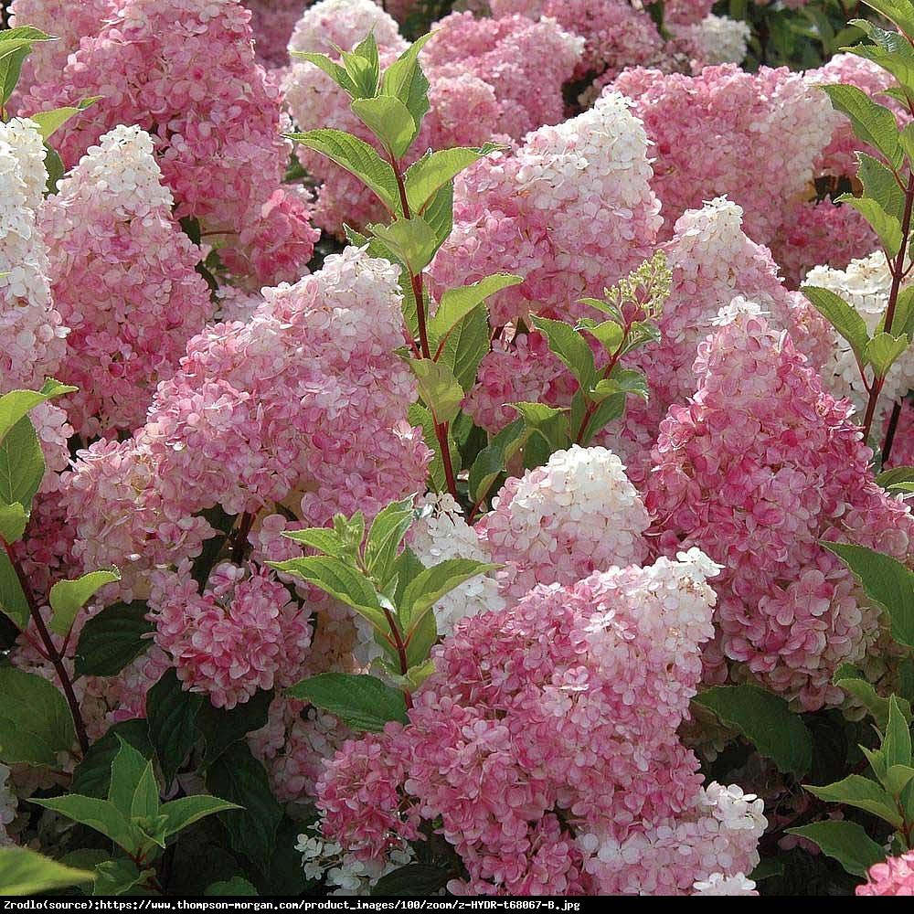Hortensja bukietowa Vanille Fraise - Hydrangea paniculata  Vanille Fraise