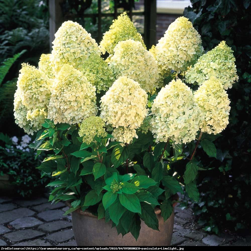 Hortensja bukietowa Limelight - Hydrangea paniculata  Limelight
