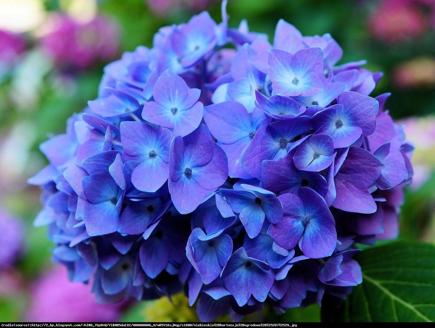 Hortensja ogrodowa niebieska - Hydrangea macrophylla niebieska