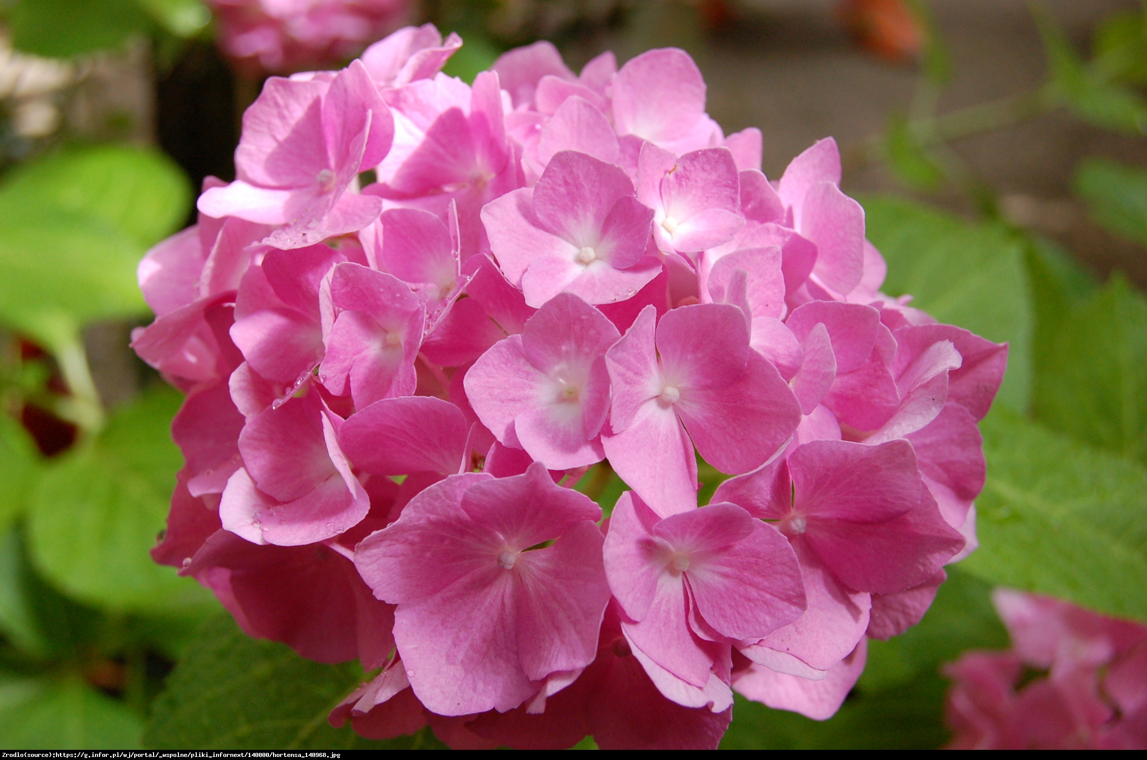 Hortensja ogrodowa różowa - Hydrangea macrophylla