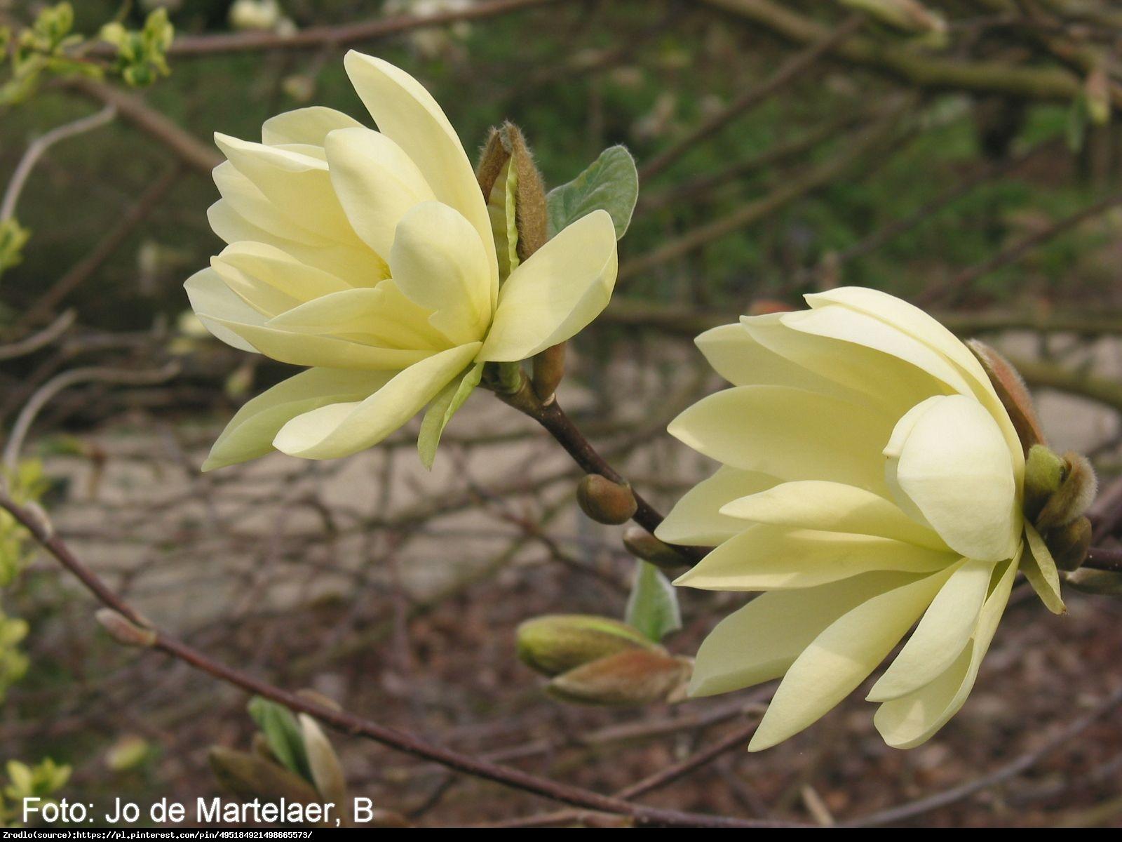 Magnolia drzewiasta - drzewo ogórkowe - Magnolia acuminata
