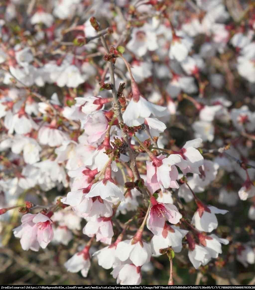 Wiśnia wczesna Kojou-no-mai - Prunus incisa  Kojou-no-mai