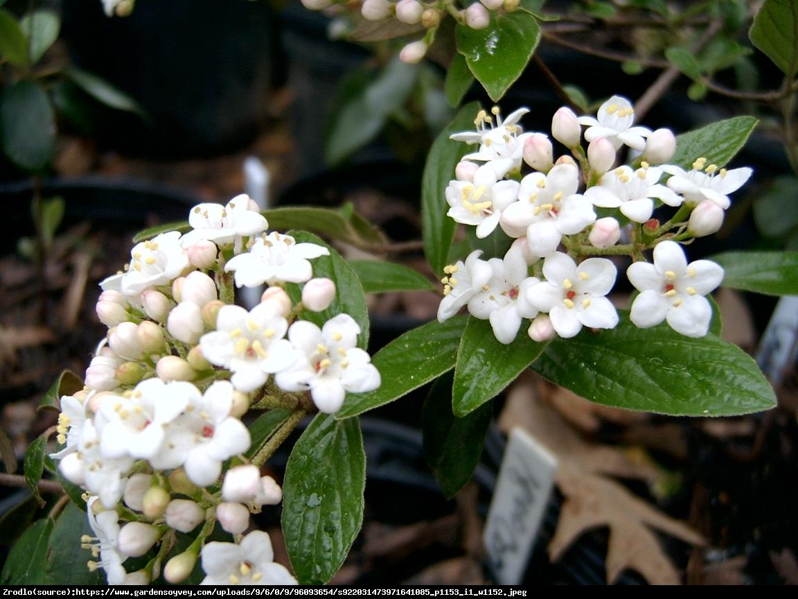 Kalina Burkwoodii - Viburnum burkwoodii