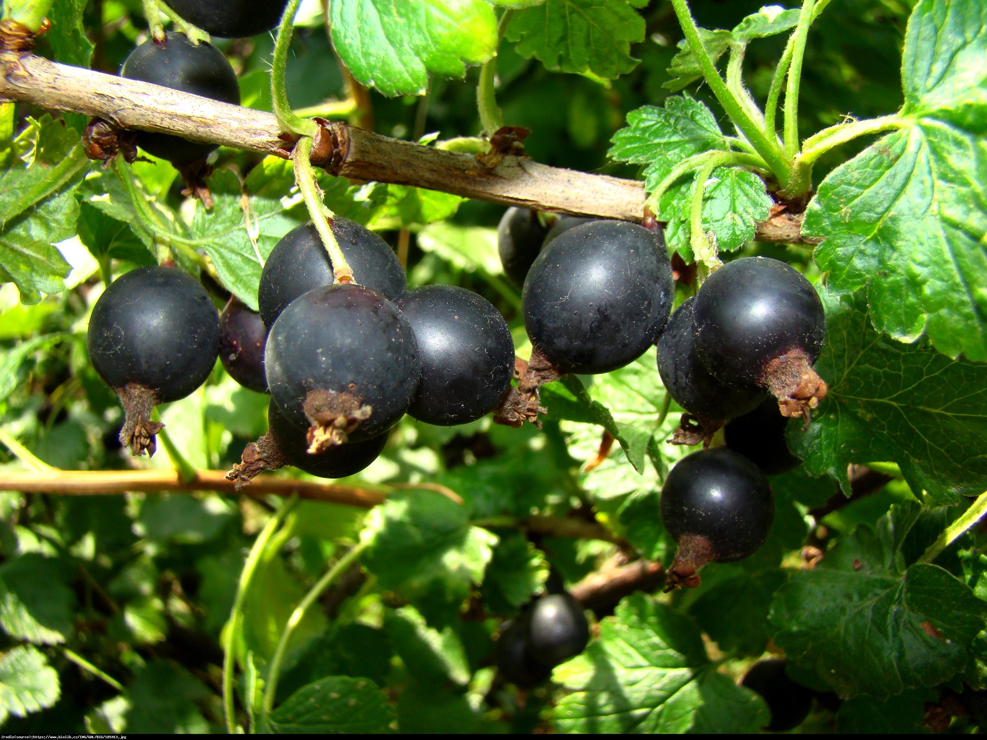 Porzeczkoagrest Josta - Ribes nidigrolaria