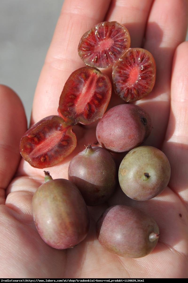 mini Kiwi aktinidia ostrolistna  Kens Red  - Actinidia arguta  Ken s Red