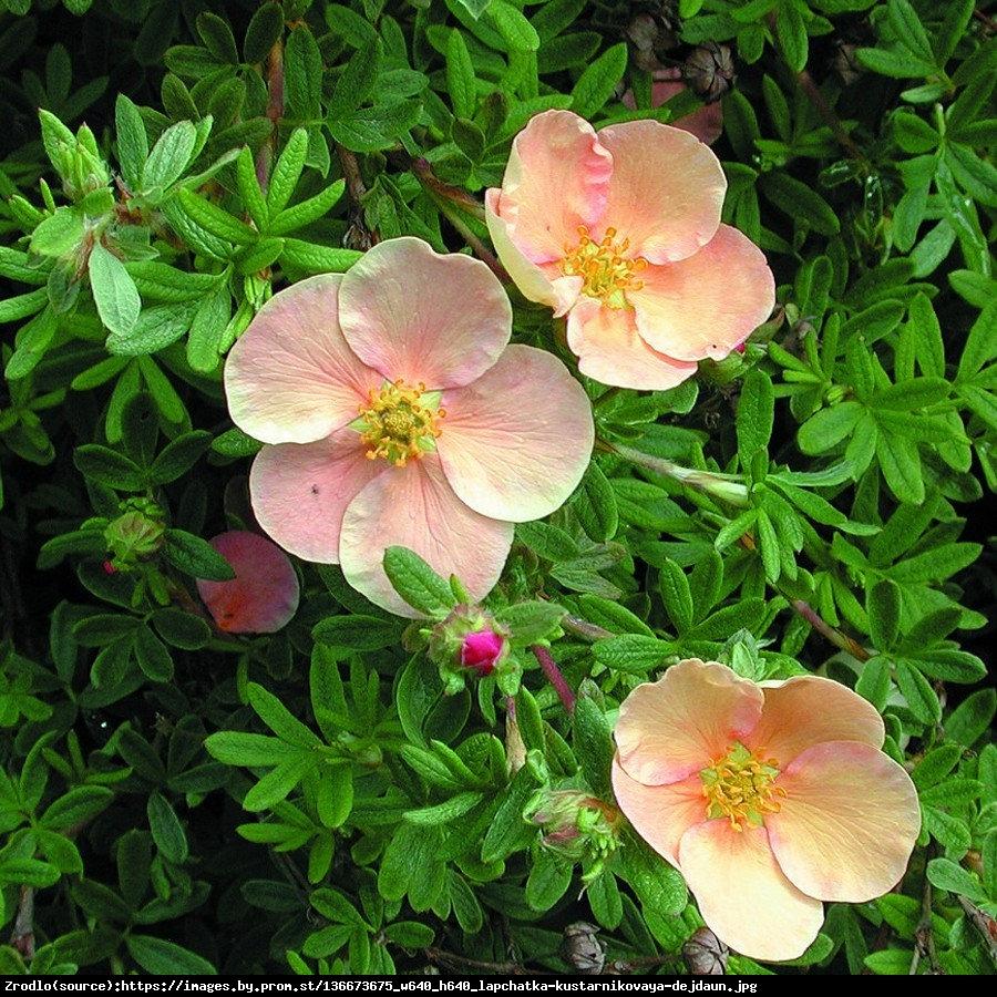 Pięciornik krzewiasty Daydawn  - Potentilla fruticosa Daydawn