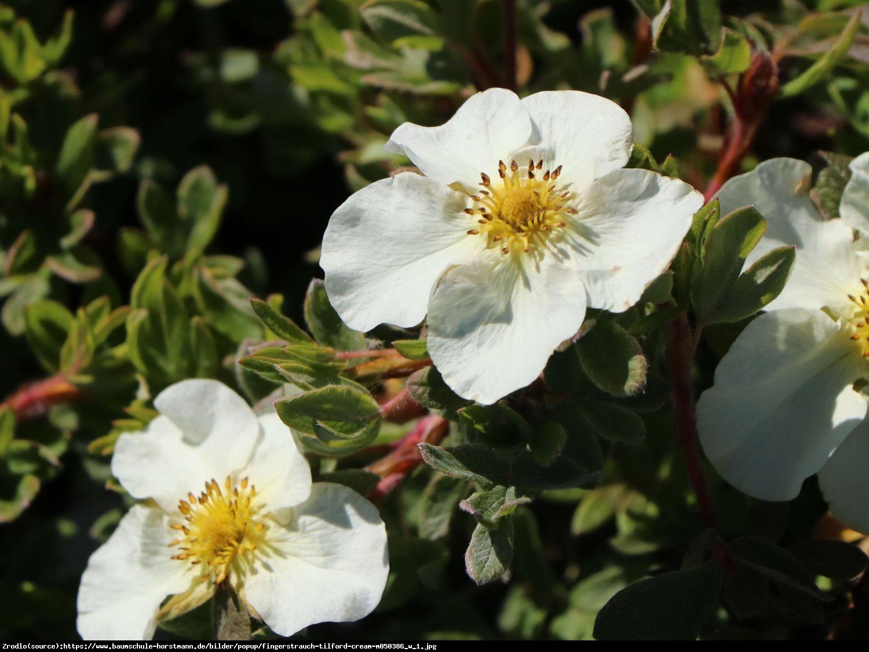 Pięciornik krzewiasty Tilford Cream  - Potentilla fruticosa Tilford Cream