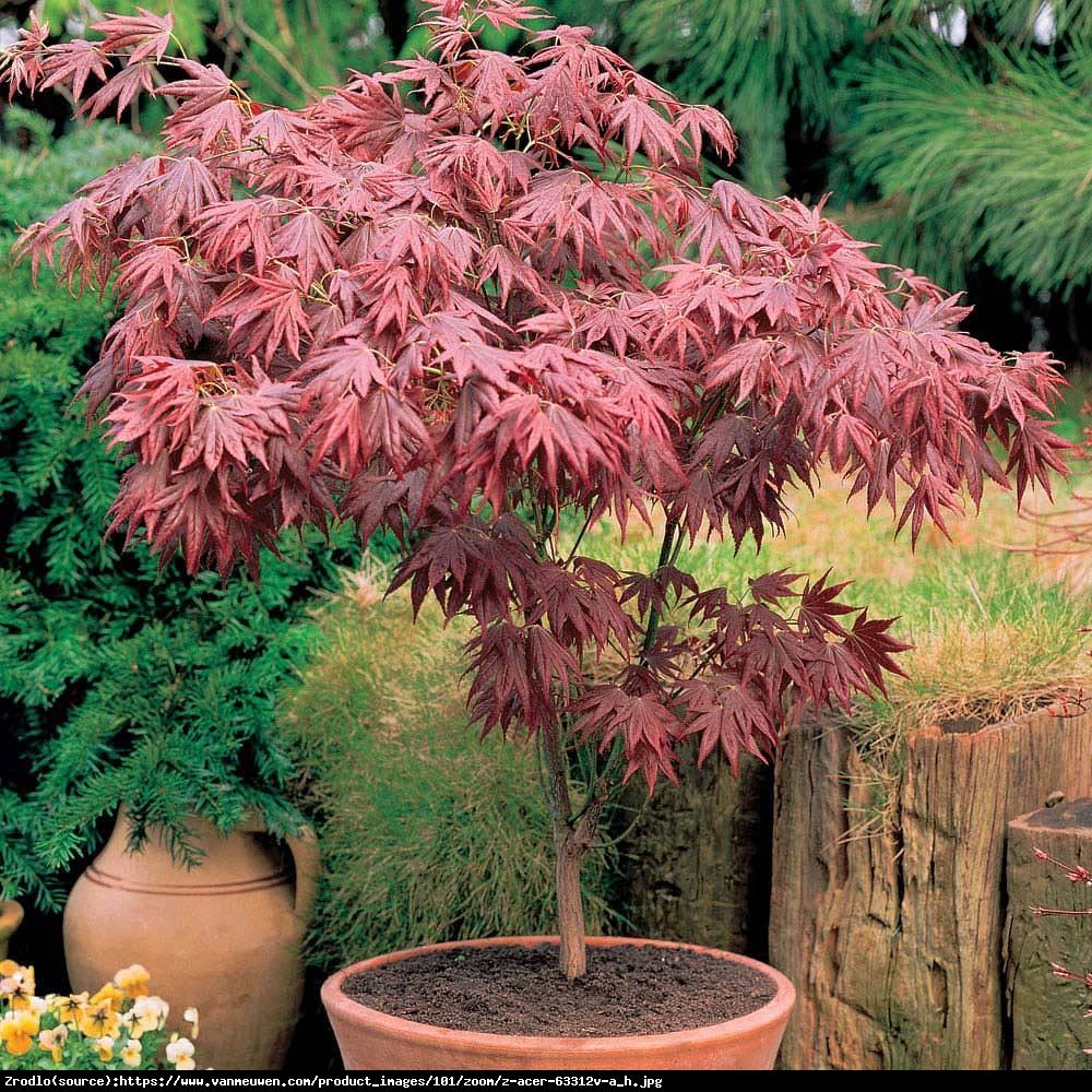 Klon palmowy Atropurpureum  - Acer palmatum  Atropurpureum