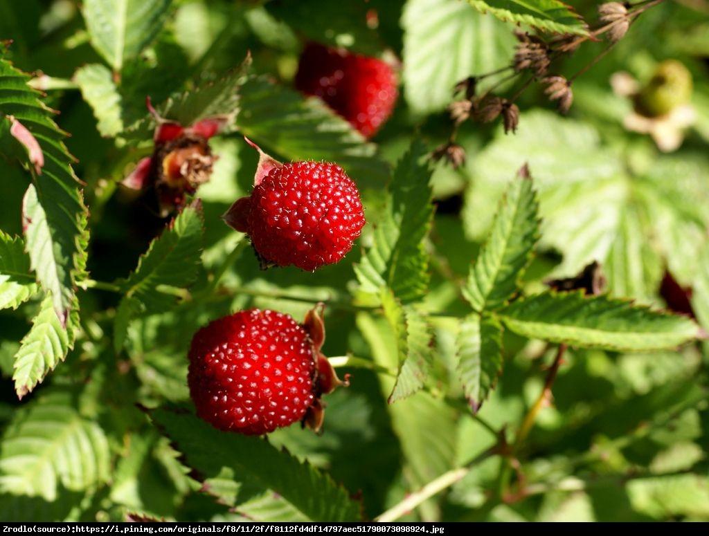 Malino-truskawka - Rubus illecebrosus