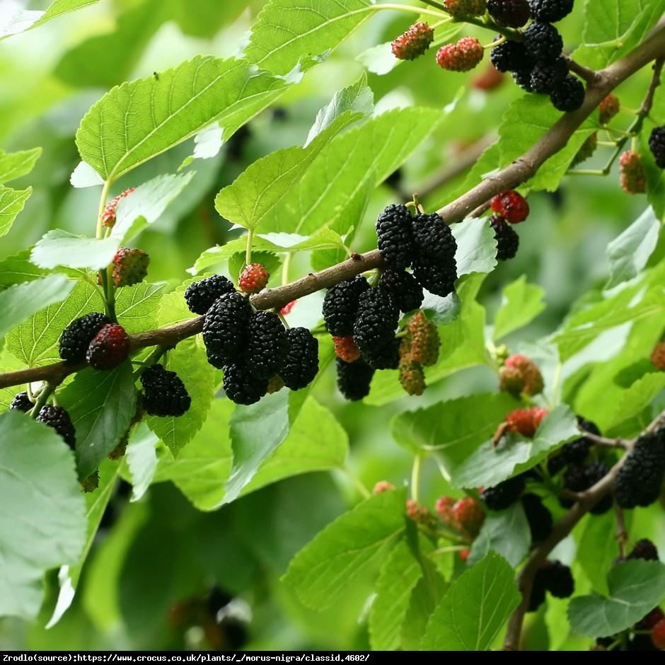 Morwa czarna - Morus nigra