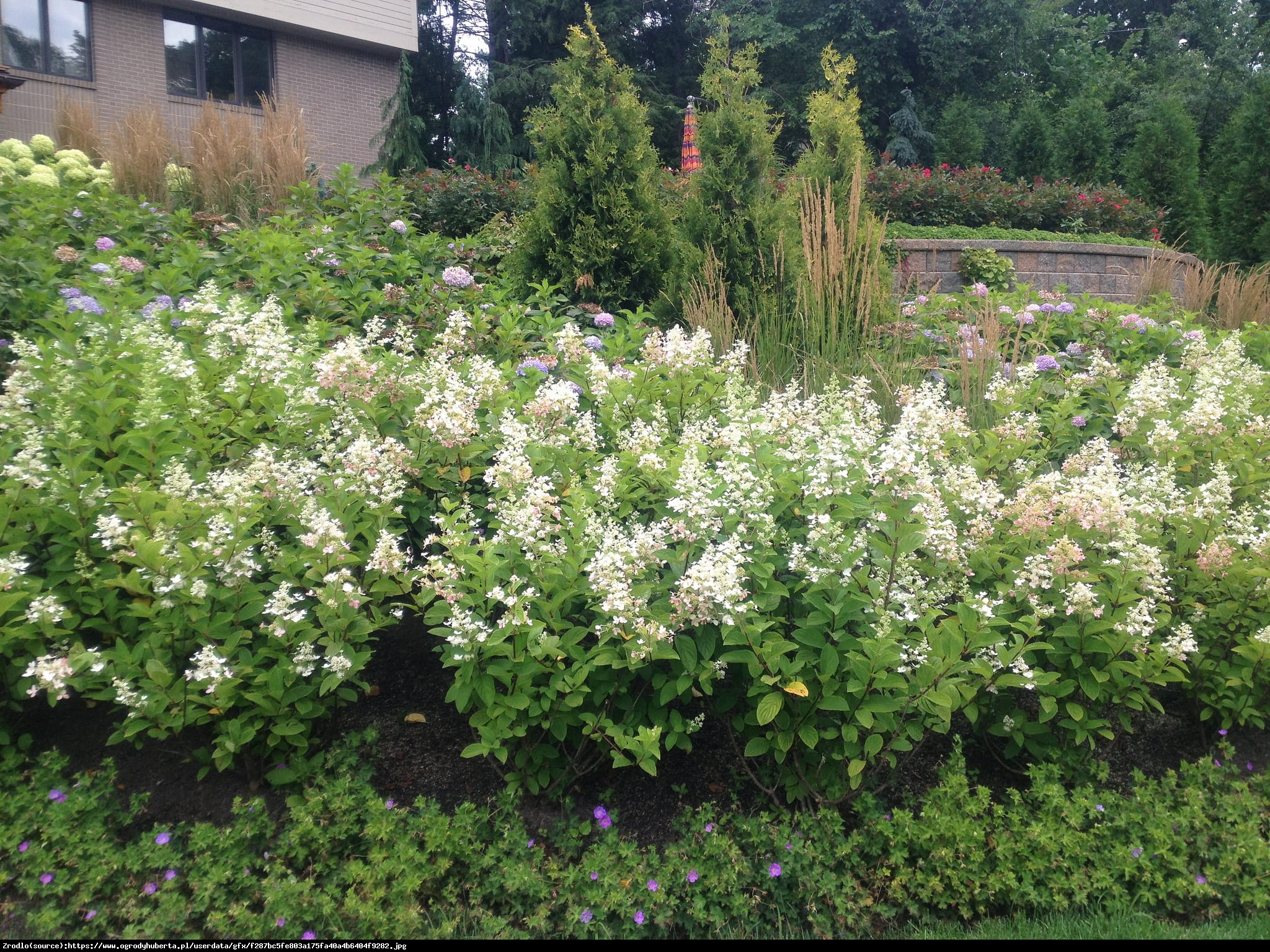 Hortensja bukietowa Tardiva  - Hydrangea paniculata Tardiva