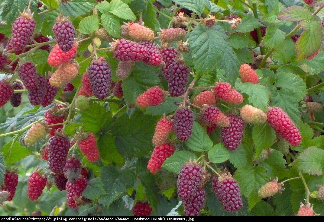 Malino-jeżyna Tayberry  - Rubus Tayberry