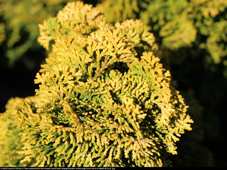 Cyprysik tępołuskowy Aurora  - Chamaecyparis obtusa Aurora